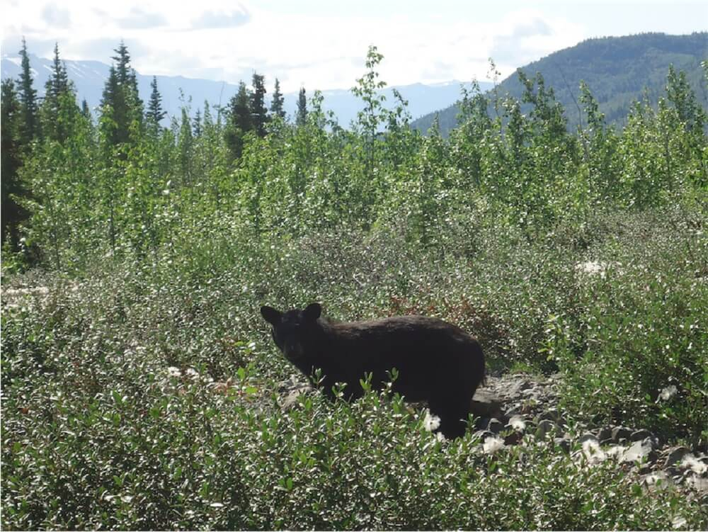 bear by glacier pond